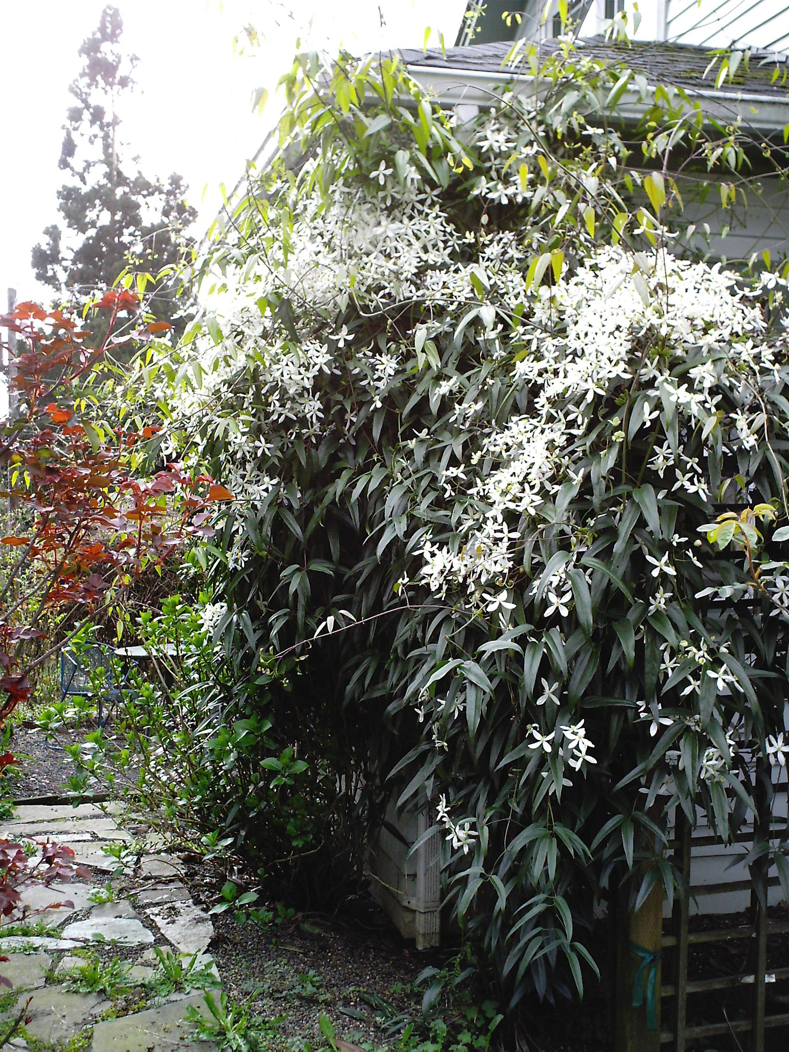 evergreen clematis in bloom minerva 39 s garden blog. Black Bedroom Furniture Sets. Home Design Ideas